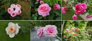Vương quốc hoa hồng đầu tiên tại Việt Nam